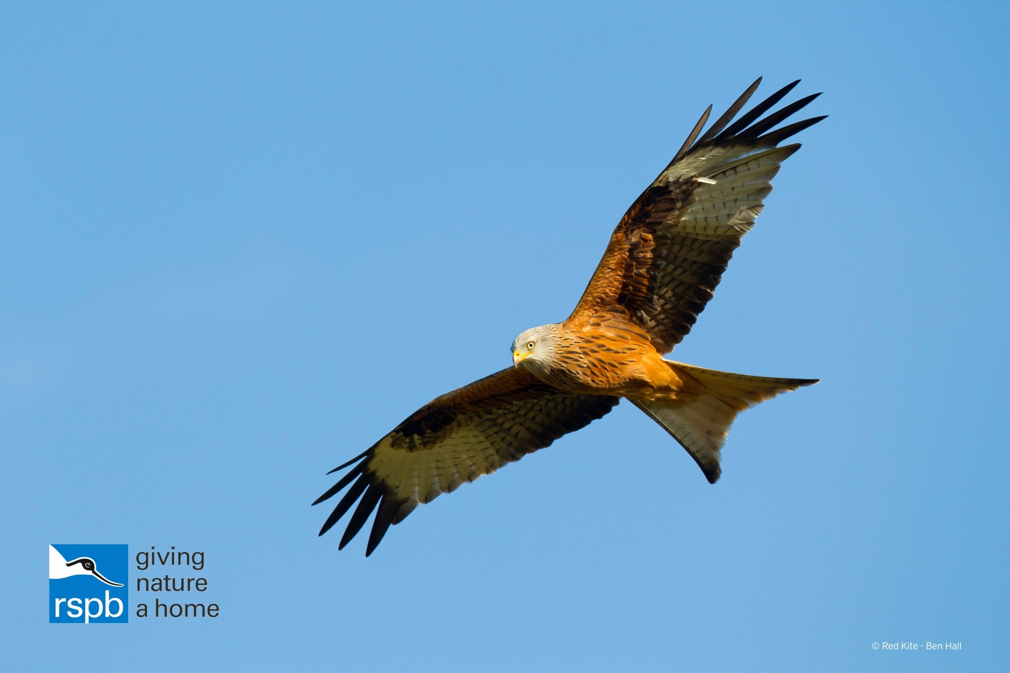Red kite (c) Ben Hall